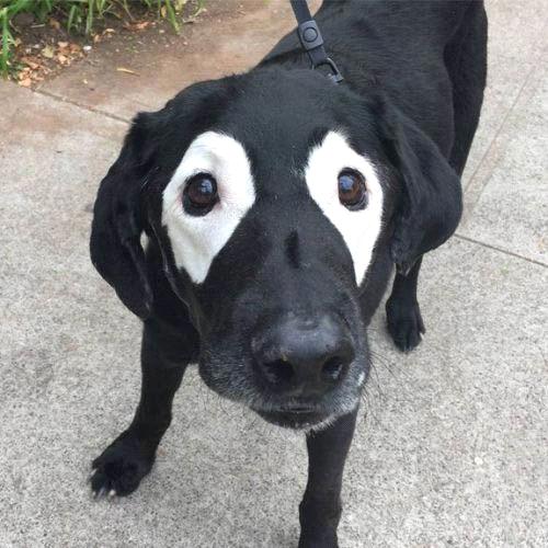 Ảnh chó hài hước nhìn như giặc