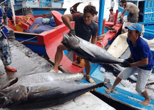 Cách bảo quản cá ngừ đại dương trong quá trình đánh bắt