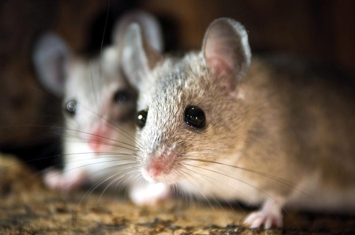 Điềm báo thấy 2 con chuột